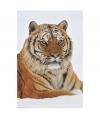 Fotografische poster Siberische tijger